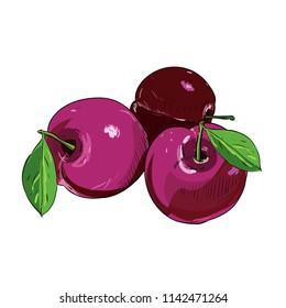 Hand drawn color sketch of plums. Vintage engraved illustration. Botanical plums. Vegetarian food drawing. Vector illustration for restaurant menu design