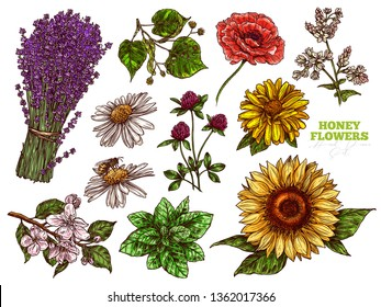Hand drawn color vector set of wildflower honey plants and flowers. Botanical sketch illustration. Floral herbal collection of linden, sunflower, lavender, poppy, clover, mint, chamomile, buckwheat