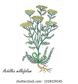 Hand Drawn Colored Bush of Common Yarrow Placed on the White Background. Herbal with Latin Name Achillea millefolium. Herbal Medicine Industry Component. Vector EPS 10 Illustration