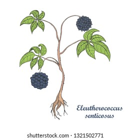 Hand Drawn Colored Bush of Eleuthero Isolated on the White Background. Herbal with Latin Name Eleutherococcus Senticosus. Sketch Style Vector Illustration. Component for Traditional Herbal Medicine