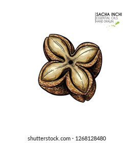 Hand drawn colored sacha inchi star capsula. Engraved vector illustration. Medical plant. Moisturizing serum,essential oil. Cosmetic, medicine, treating, aromatherapy package design skincare