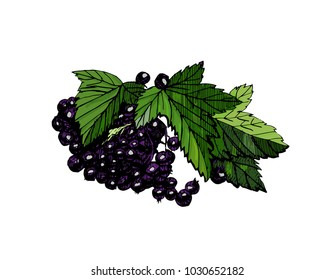 Hand drawn colored vector  with currant  berries and leaf