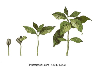 Hand drawn colorful coffee seedlings. 4 stages of growing plant. Vector illustration