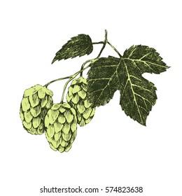 Hand drawn colorful hop plant - vector illustration