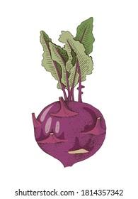 Hand drawn colorful kohlrabi plant. Fresh vegetable. Sketched vector illustration