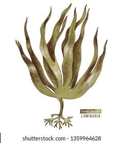 Hand drawn colorful laminaria digitata seaweed. Vector illustration