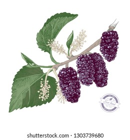 Hand drawn colorful mulberry branch with flowers and ripe berries. Vector illustration