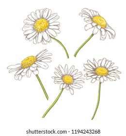 Hand drawn colorful sketch camomile set, vintage en and ink etching, isolated on white background. Floral engraving botanical illustration.