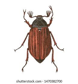 Hand drawn colorful vector illustration of Maybug