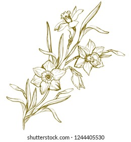 Hand drawn contour of flowers Narcissus, Daffodils isolated on white. Yellow realistic sketching element for create floral design,wallpaper, wedding invitaton, celebration card. Vector illustration