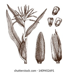Hand drawn corn illustration. Vector maize sketches set. With Maize plant, corn cob and grains. Botanical drawing of vintage cereal plants drawing. Great for packaging, menu, label. High detailed.