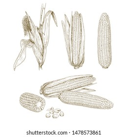 Hand drawn corn. Set sketches with maize plant, corn cob, leaves and grains. Vector illustration isolated on white background.