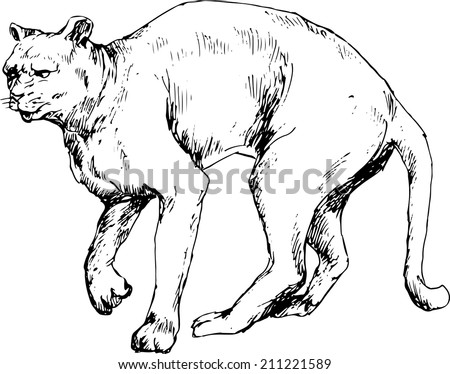 Hand Drawn Cougar Stock Vector Royalty Free 211221589