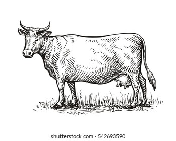 hand drawn cow  sketch vector illustration