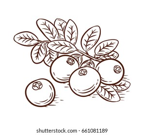 Hand drawn cranberries branch isolated on white background, vector illustration.