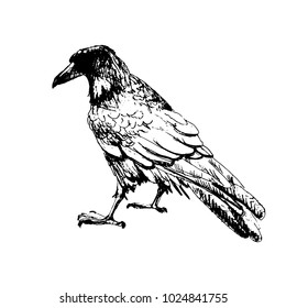 Hand drawn crow, ink sketch, quick doodle. Vector illustration, isolated on white background.