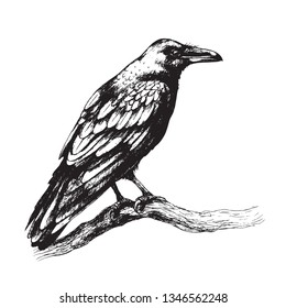 Hand drawn crow isolated on white background. Black bird sitting on tree branch. Raven with big beak side view drawing in vintage style, t-shirt design, tattoo art.