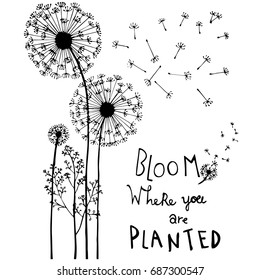 Hand drawn dandelion flowers, with hand lettering isolated on white. Bloom where you are planted.