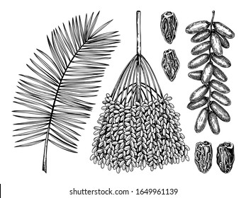Hand drawn date leaves, fresh and dried fruits, branch, palm sketches set. Vintage dehydrated date fruits in engraved style. Delicious healthy dessert. Realistic oriental sweets vector illustrations.