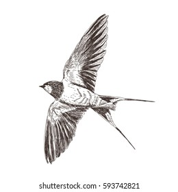 Hand drawn detailed sketch. Soaring high in the sky bird. Swallow in flight, with widely outstretched wings. Vector illustration isolated on white background.