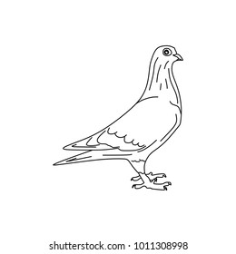 Hand drawn Dove bird, Piegon vector illustration black and white. Natural drawing line art style.