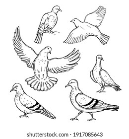 Hand drawn doves. Vector sketch  illustration.