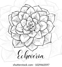 Hand drawn Echeveria cacti, sketch style vector illustration isolated on white background. Wild floral exotic tropical plant. Black and white of Echeveria cacti, top view.