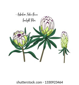 hand drawn element of limelight protea, australian native plant in vector illustration