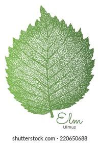 Hand drawn elm leaf. Isolated vector.