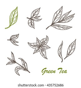 Hand drawn engraving style Green tea leaves set. Vector illustration