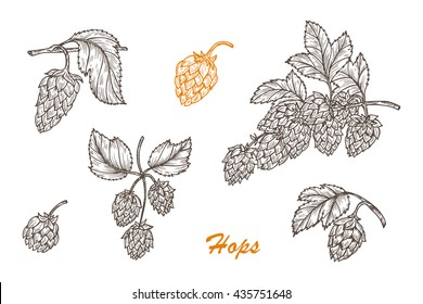 Hand drawn engraving style Hops set. Common hop or Humulus lupulus branch with leaves and cones. Vector illustration