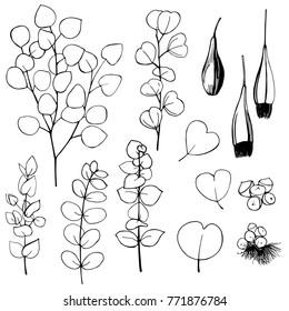 Hand drawn Eucalyptus. Black and white line illustration of plants.