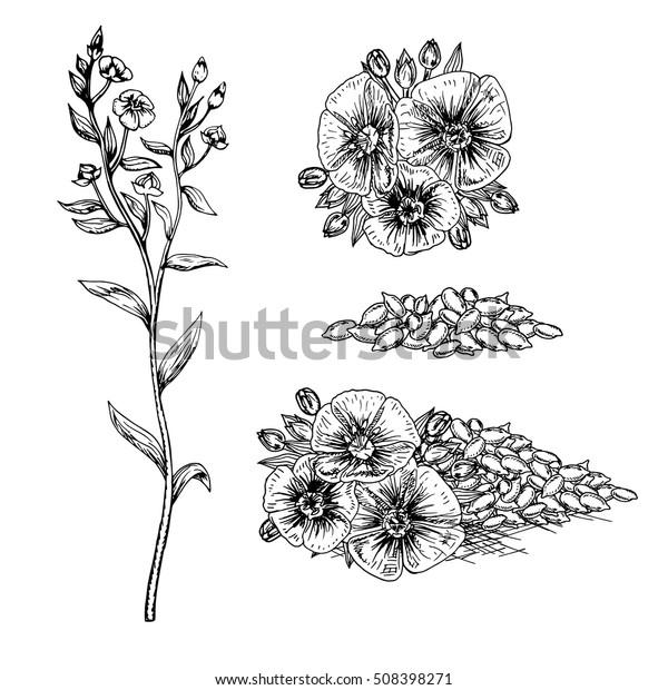 Image Vectorielle De Stock De Fleurs Et Graines De Lin