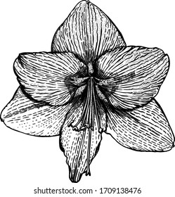 Hand - drawn  flower  Hippeastrum Flamenco Queen, sketch vector graphic monochrome  illustration on white background.