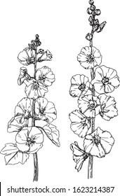 Hand drawn flower illustration - blooming Hollyhocks. Botanical illustration of flowering Alcea rosea. Black and white ink drawing. Vector sketch