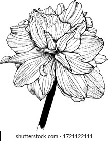 Hand - drawn  flower -  Lily, sketch vector graphic monochrome  illustration on white background.