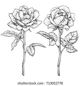 Hand drawn flowering roses. Flower set. Vector illustration
