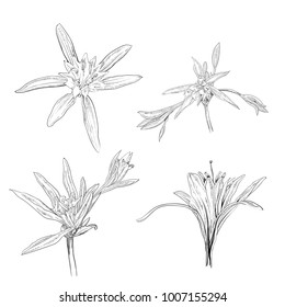 Hand Drawn Flowers Lilies on a white background set