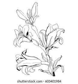 Hand Drawn Flowers Lilies on a white background. Isolated vector illustration in line art style. Template card, invitation, banner, tattoo, design element.