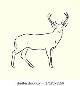 Hand drawn. forest deer, vector sketch illustration