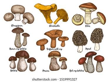 Hand drawn forest mushrooms set. Edible mushrooms vector illustrations collection. Bolete, morel, champignon, chanterelle, oiler, red cap bolete, saffron milk cap isolated on white background. Vintage