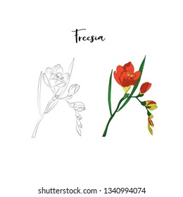 hand drawn freesia flower element on white background in vector