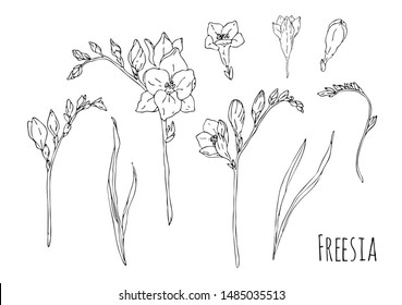 Hand drawn freesia set illustration on white background. Black and white sketch liner.