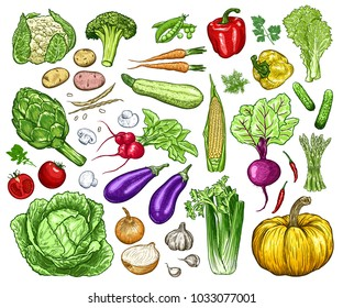 Hand drawn fresh vegetables set. Template for your design works. Engraved style vector illustration.