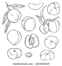 Hand drawn fruits on white background. Peach. Vector sketch  illustration.