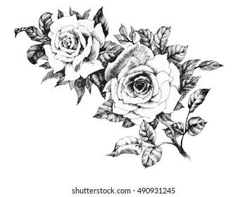 Hand drawn garden rose flower isolated on white background vector