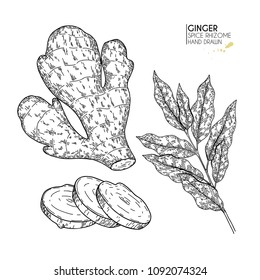 Hand drawn ginger root and leaves. Vector engraved illustration. Spicy rhizhome vegetable. Food ingredient, aromatherapy, cooking. For cosmetic package design, medicinal herb, treating, healt care.