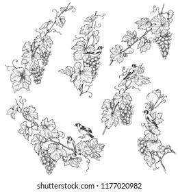 Hand drawn goldfinches sitting on grape branches with berries. Monochrome set of birds and grapes.Vector sketch.