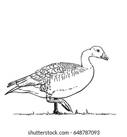 Hand drawn goose standing on one leg, Vector illustration isolated on white background