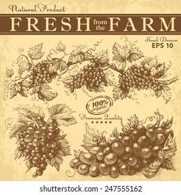Hand drawn grapes set. Vintage vector